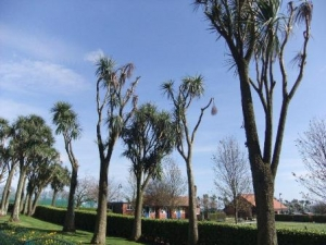 Damaged Manx palms to be removed from Noble's Park